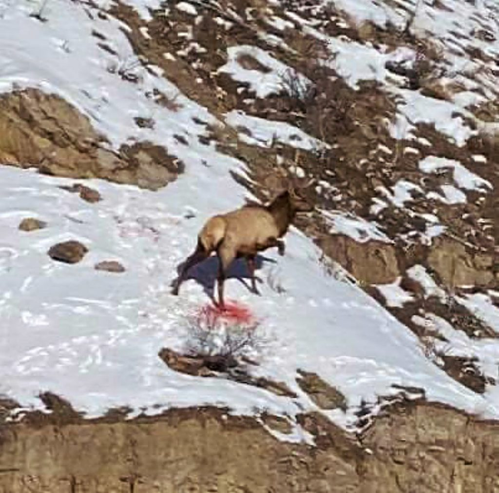 A wounded elk climbs along a rocky area near Red Cliff, in the same vicinity where mountain lions have been spotted.