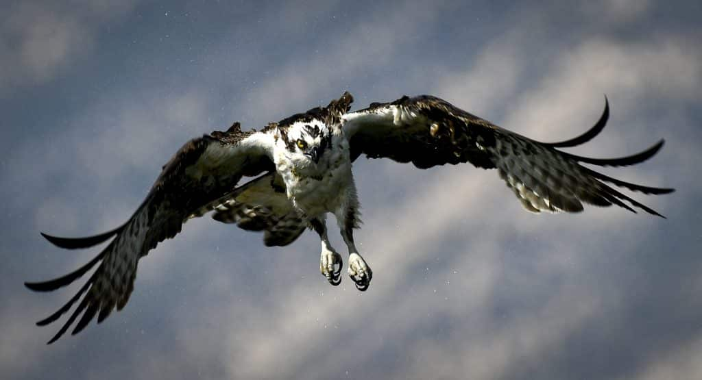 With empty talons an adult Osprey shakes off the water from a dive into the Rifle Ponds looking for some afternoon prey Tuesday in Rifle. The large fish-eating raptor also know as a sea hawk, can be found stalking the waters of Garfield County.