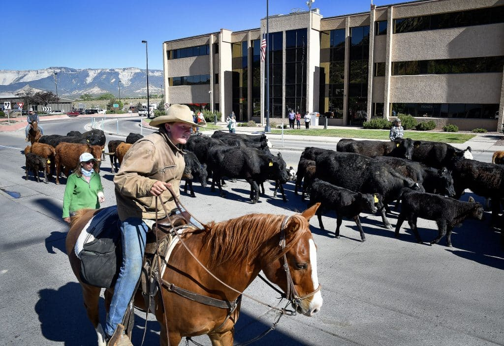Nick Ramthun of De Beque keeps a close watch on the herd of cattle as they drive them through south Rifle last Thursday. Members of the Alkali Creek Cattle Company spent last week bringing part of western Garfield County's hisotry alive as they drove nearly 74 cows and calves from De Beque to New Castle. (Kyle Mills / Citizen Telegram)