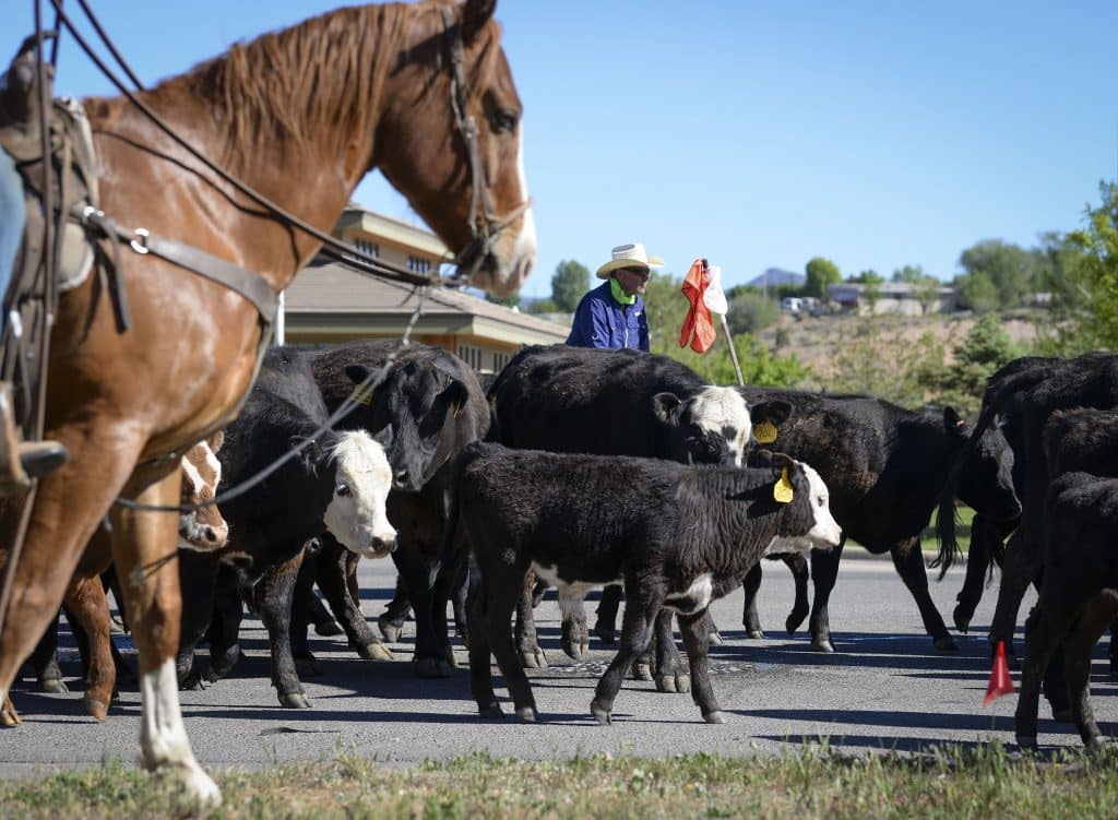 The cattle slowly make their way east on Airport Road in South Rifle.
