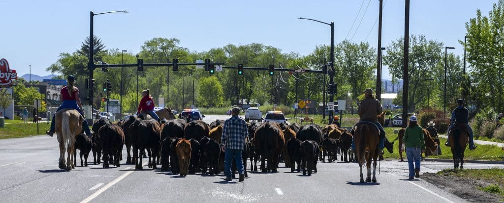 The cattle drive pushes through south Rifle on Airport Road, a sight not seen since the early days of the old cattle town. The herd of cows and calves made it to New Castle last Saturday after 8 days on the road.