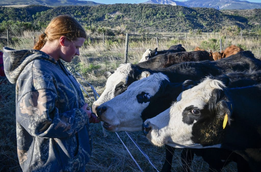 Kate Ramthun gives a few cows a little snack before starting the day, as the Alkali Cattle Company pushes their cattle toward New Castle for summer pasture.
