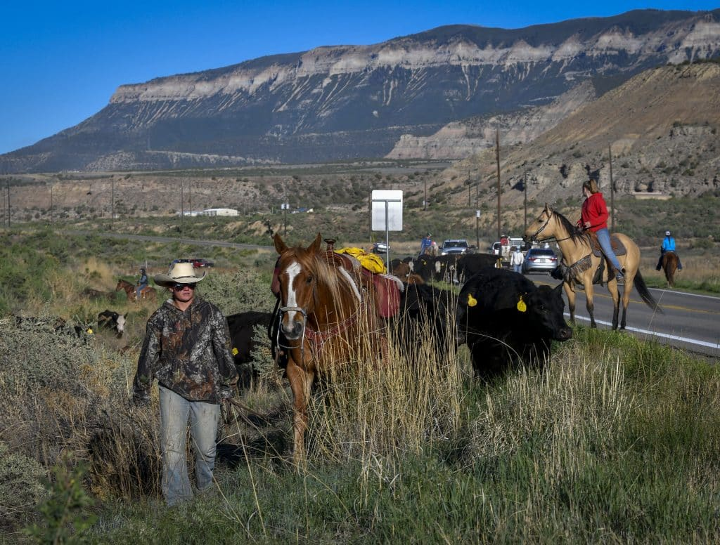 With the cattle following close behind April Ramthun slowly walks her horse through the brush along Highway 6 west of Rifle.