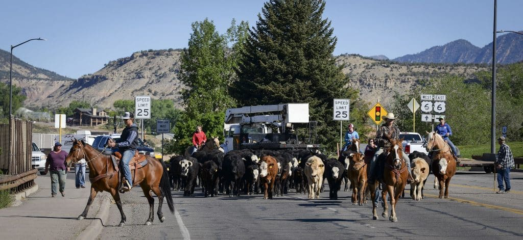 With some help from the Rifle Police Department the cattle drive makes their way across the Colorado River Bridge.