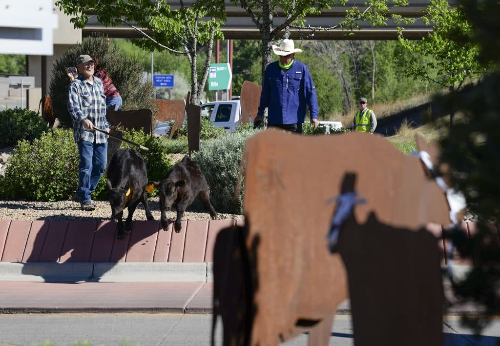 Duke Ramthun and Dan McQueen pick up a few wayward  calves that wandered into the roundabouts with the cattle sculptures as they cattle drive made its way through south Rifle.