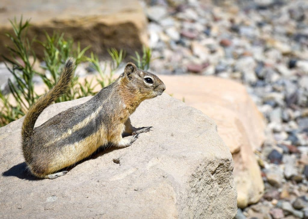 A ground squirrel takes in a little sun on the rocks near Rifle Gap State Park.