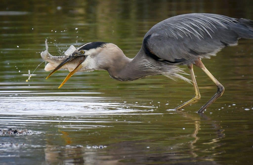The shallow water ripples as a great blue heron snags a sucker fish for breakfast as high water floods into the parking lot at the boat ramp near the Rifle Visitors Center.